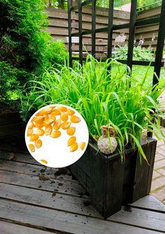 Terassikasvit popcornista   Meillä kotona Summer Flowers, Popcorn, Stepping Stones, Orchids, Life Hacks, Planter Pots, Home And Garden, Backyard, Outdoor Decor