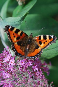 Red Admiral By Tom Wade