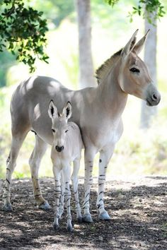 A baby Somali Ass, a sub-species of the African Wild Ass (Equus africanus) Endangered to Critically Endangered. This beautiful mother and foal are in a zoo in Miami. Wild asses are endangered in the wild by hunting for food and traditional medicine and by habitat loss.