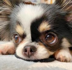 Chihuahua Love, Chihuahua Puppies, Cute Puppies, Cute Dogs, Dogs And Puppies, Doggies, Chihuahuas, Cute Funny Animals, Cute Baby Animals
