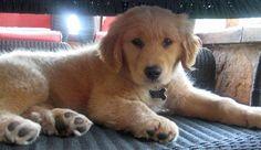Bailey-the-Golden-Retriever #dale-holman-maine