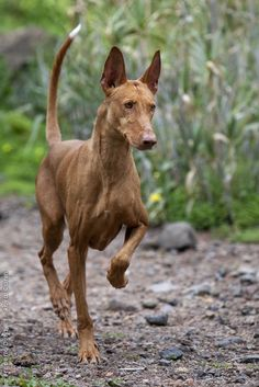 Podenco Canario photo | Please activate Javascript to use the gallery function!
