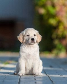 #GoldenRetriever #puppy looking for something to do...found on fundogpics.com