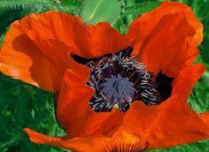 Oriental Poppy by gardenreflections, via Flickr