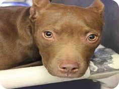 Phx, Az.     Breed:    American Pit Bull Terrier Mix    Color:    Unknown    Age:    Puppy        Size:    Small 25 lbs (11 kg) or less    Sex:    Female     ID#:    5249907      I am already spayed.    A3234473's Story...       Act quickly to adopt A3234473. Pets at this shelter may be held for only a short time.