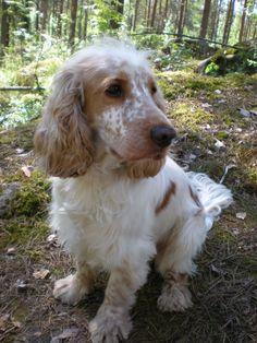 English Cocker Spaniel - love the freckles :)