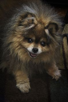 Who cares if I'm not groomed. Have you seen this face? #pomeranian