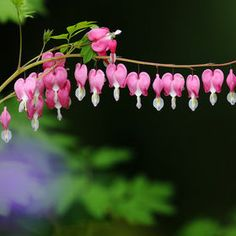 Photo Dicentra spectabilis by LEE INHWAN on 500px