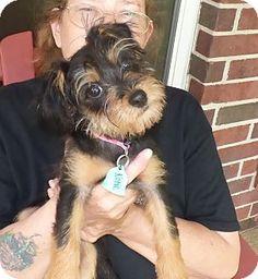 Conroe, TX - Yorkie, Yorkshire Terrier/Miniature Schnauzer Mix. Meet Katie, a puppy for adoption. http://www.adoptapet.com/pet/13129843-conroe-texas-yorkie-yorkshire-terrier-mix