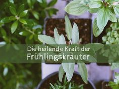 Would you like a way to grow herbs that you can enjoy all winter long? Here's a step-by-step guide to help you grow culinary herbs indoors! Gardening For Beginners, Gardening Tips, Permaculture, Types Of Herbs, Herbs Indoors, Diy Garden, Garden Ideas, Spring Garden, Homeopathic Remedies