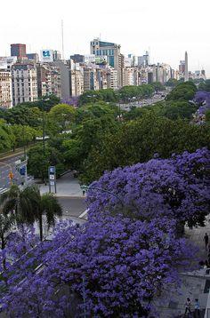 Jacarandá en flor BUENOS AIRES...está nuestra ciudad poblada de jacarandaes que aportan, con el reflejo de los últimos rayos de sol sobre el azul de sus flores, una vista bellísima a los atardeceres en primavera...