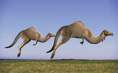 Photoshop Design by senja #photoshop #montage #australianoutback #kangaroos # camels #weird #bizzare #designcrowd