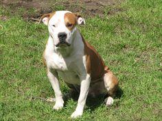 My other American Bulldog (Mac)