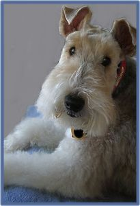 I grew up with Wire Fox Terriers!