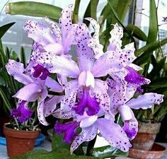 Cattleya interglossa Orchid Photography By Kokin Rare Flowers, Exotic Flowers, Amazing Flowers, Purple Flowers, Beautiful Flowers, Orchid Flowers, Orchids Garden, Orchid Plants, Exotic Plants