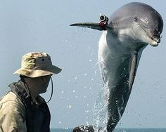 Dolphins have been serving in the U.S. Navy for more than 40 years as part of the Navy's Marine Mammal Program, and they were used during the Vietnam War and Operation Iraqi Freedom. These highly intelligent animals are trained to detect, locate and mark mines — not to mention suspicious swimmers and divers.