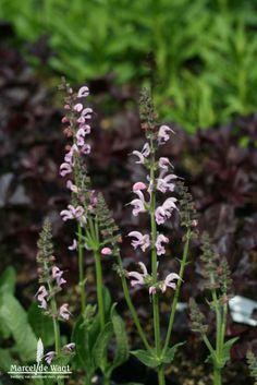 Salvia pratensis Eveline - Kwekerij van opvallende vaste planten, Ven-Zelderheide Marcel, Salvia, Plants, Sage, Plant, Planets