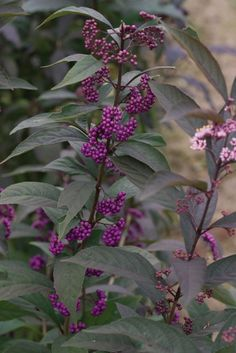 Shrubs that Burst into Color for Fall. Learn what shrubs you can add to your garden to get fresh late summer and fall color for your garden, year after year. - Proven Winners