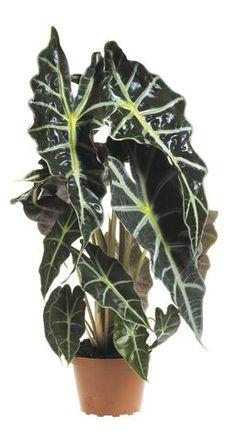 Elefantøre Plant Leaves, Planters, Planter Boxes, Plant, Flower Pots, Pot Holders, Flower Planters, Pots, Container Plants