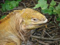 Find images of Iguana Reptil. Reptiles, Amphibians, Island Holidays, Red Eyed Tree Frog, Tree Frogs, Animals, Trips, Viajes, Animales