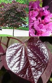 'Forest Pansy' Redbud: spring blooms, heart shaped leaves maroon foliage that gets better in the fall~ gorgeous! Flowering Trees, Trees And Shrubs, Redbud Trees, Fall Plants, Foliage Plants, Baumgarten, Garden Trees, Garden Plants, Spring Blooms