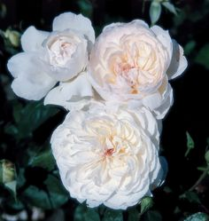 Finally a pure white Romantica! The smallest rose in bloom size to be introduced into this collection. An exceptionally strong