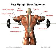 rear upright row anatomy