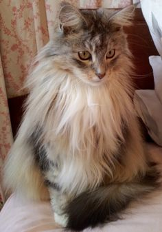 Serefina. Maine coon cat. She looks so much like my cat Misty!