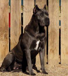 Black Cane Corso, Cane Corso Dog, Big Dogs, Dogs And Puppies, Cane Corsa, Animals Beautiful, Cute Animals, Black Pitbull, Dog Wallpaper