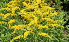 Die Goldrute (Solidago) hat gold-gelbe Blütenstände, die in schmalen gelben Rispen angeordnet sind.