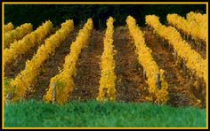 The Muller-Thurgau vineyard in October Bainbridge Island, Hudson River, Wineries, Napa Valley, Washington State, Pacific Northwest, Seattle, Vineyard, October