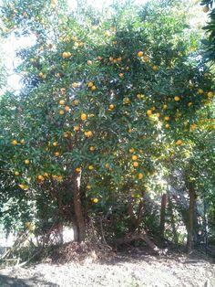 Fruits, Orange.