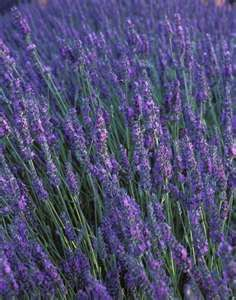 Lavender for Healing and Relaxation « « The Real You StudioThe Real ...