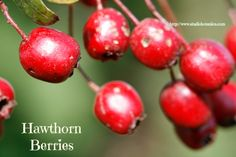 Hawthorn Berries for Heart Health! DIY tea info @ http://www.studiobotanica.com