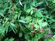 Wild black raspberries in situ #Rubus occidentalis #anthocyanins #phenolic compounds