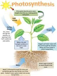 photosynthesis process - Google Search