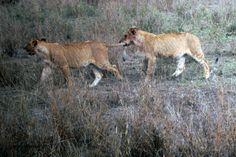 """Not so fast, I am afraid I'll be left behind.""  Serengeti National Park, Tanzania, Africa, October 2013."