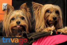 "Der Yorkshire Terrier Blog | ""…klein, aber oho!"" Hundeblog"