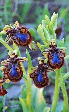Bee-Orchid.  Удивительная  форма   цветов.  Они  похожи  на  пчел.