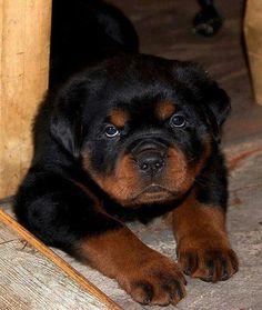 #Rottweiler #Pup