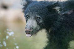 A face only the world could loveeeee Hank, Adorable Sloth Bear Cub, Makes National Zoo Debut, June 20, 2013