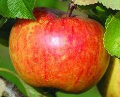 Cox's Orange Pippin: Es una de las variedades más populares en el Reino Unido, Holanda y Bélgica. Los frutos son de color rojo estriado sobre fondo amarillo y verde. Su forma redondeada es muy regular y el tamaño es medio. Es muy aromática y agradable sabor (Frutas y hortalizas, 2000).