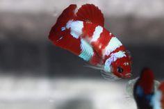 Betta Fish Types, Betta Fish Care, Tropical Fish Aquarium, Fish Aquariums, Cool Fish, Beta Fish, Siamese Fighting Fish, Fish Farming, Beautiful Fish