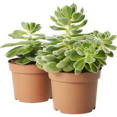 Suckulenta växter med vackert färgade blad som samlas i bladrosetter. En mängd sorter och varianter! ...