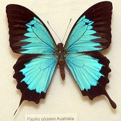 Blue Mountain Butterfly - Papillio ulysses