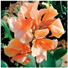 How to care for Canna plants throughout the growing season. Planting Canna lily bulbs, rhizomes, and seeds. Buy red, yellow, and orange Canna lilies including 'Bengal Tiger' and 'Picasso'. Tropical Vibes, Tropical Plants, Canna Lily Care, Canna Bulbs, Calla Lillies, Lilies, Lily Bulbs, Plant Guide, Plants Online