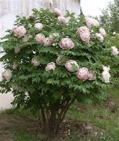Tree Peonies (Plant in the fall-they do not die back like other Peonies) I'd love to plant these beside my house!!