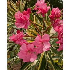 Southern Living Plant Collection 2 gal. Twist of Pink Oleander-43502 - The Home Depot