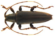 Family: Cerambycidae Size: 12.8 mm Location: Philippines, Luzon det. Breuning, 1965 Type, Coll. Museum Berlin reconstructed: left antennal segment replaced 5 to 11 needle drop retouched Photo: U.Schmidt, 2010