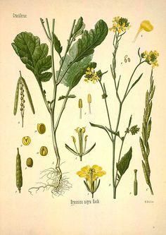 Brassica nigra Koch, Black mustard - Medicinal Botanical Plants